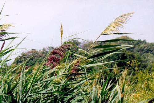 Reeds07
