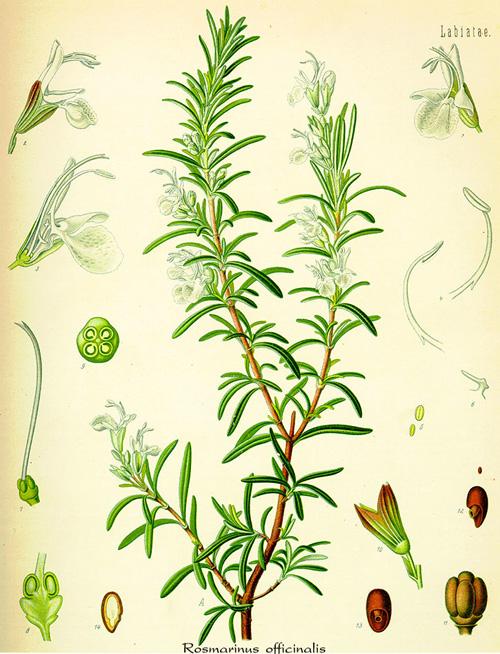 Rosemary (Rosmarinus officinalis) Illustration from Köhler's Medicinal Plants - 1887