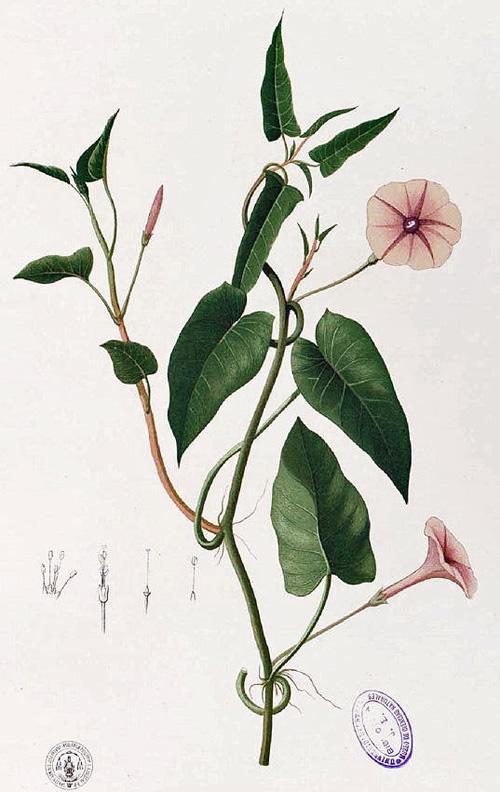 Ipomoea aquatica Forssk. 1775 - Wasserspinat - Water Spinach