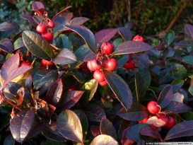 Wintergreen leaves turn red to brown in Autumn.