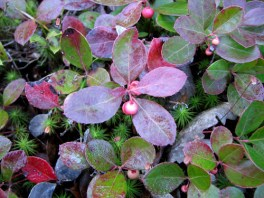 Wintergreen makes a great, shade-tolerant groundcover.