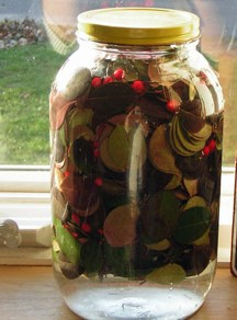 Fermenting the leaves and berries to make Wintergreen Tea.