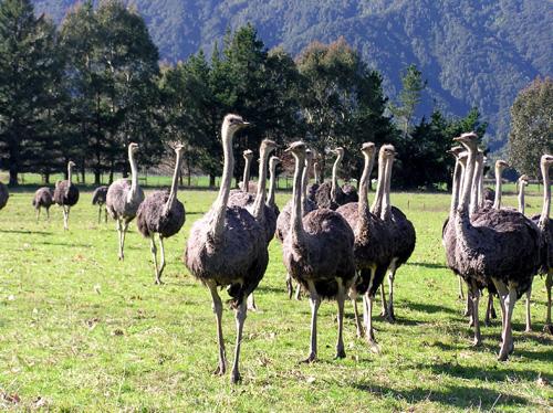Ostriches on a farm