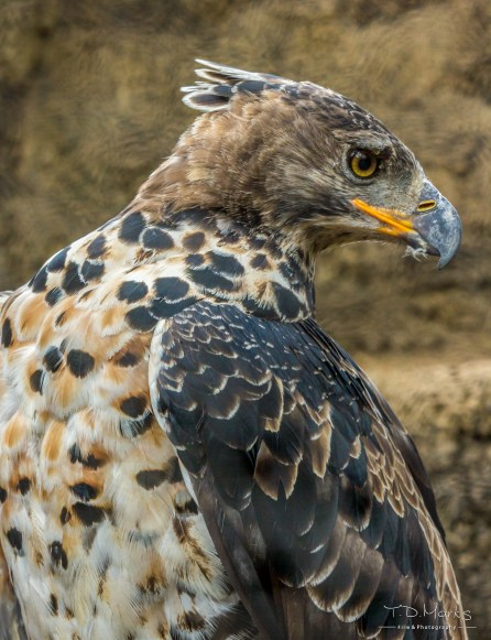 African Crowned Eagle 3