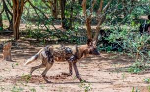 African Wild Dog 2
