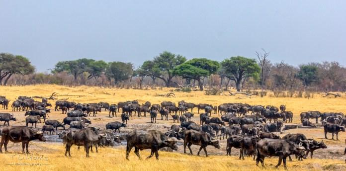 Buffalo Herd 1
