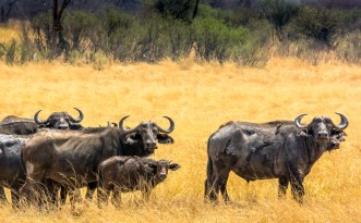 Buffalo Herd 4