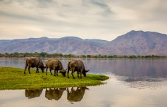 Buffalo Reflection 1
