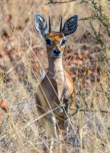 Bush Buck 1