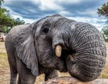 Elephant Calf 8