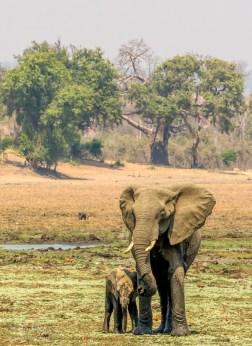 Elephant Herd 12