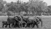 Elephant Herd 13