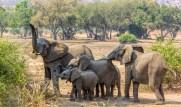 Elephant Herd 9