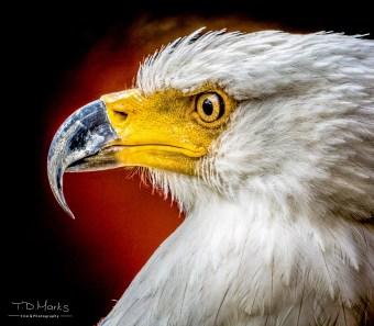 Fish Eagle Portrait-1