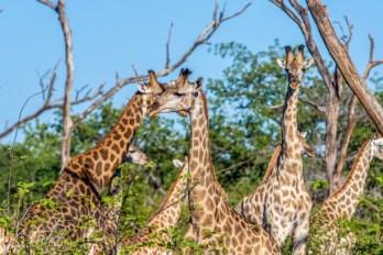 Giraffe Herd 2