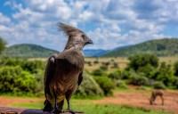 Goaway Bird 1