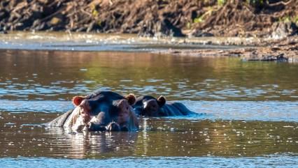 Hippopotamus Pod 2