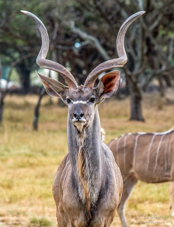Kudu Bull 4