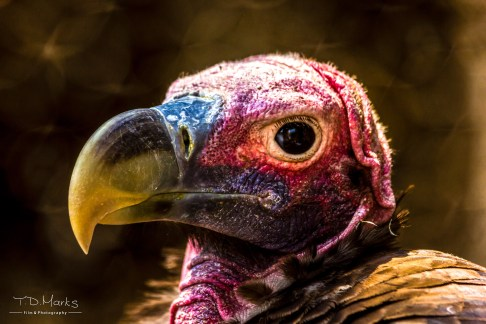 Lappet Faced Vulture 1