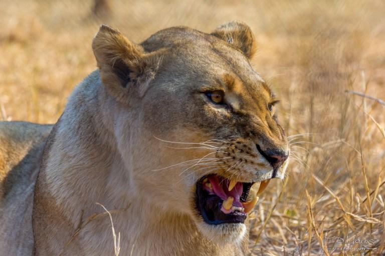 Lion (Female 2)
