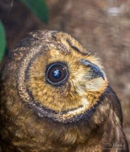 Marsh Owl 2