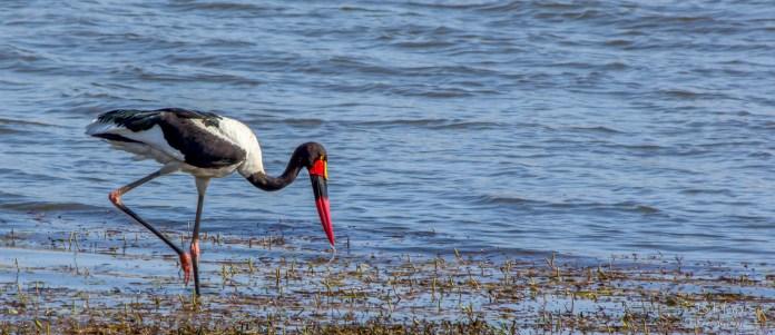 Saddle-billed stork 2