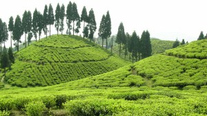 Steadfast Darjeeling Continues to Evolve