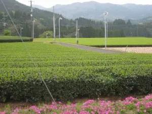 知覧町後岳の茶畑
