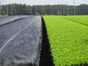 左:被覆した茶畑 右:露地栽培の茶畑