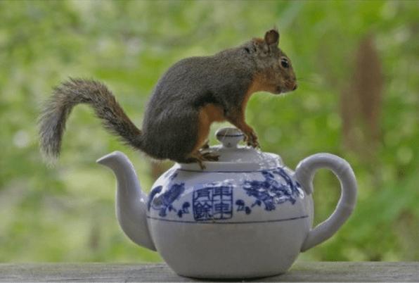 Squirrel on Teapot -funnaturephotography