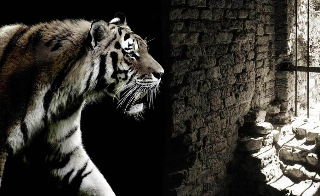 Tiger in a dungeon with a barred window. In reference to disabled people as a zoo attraction