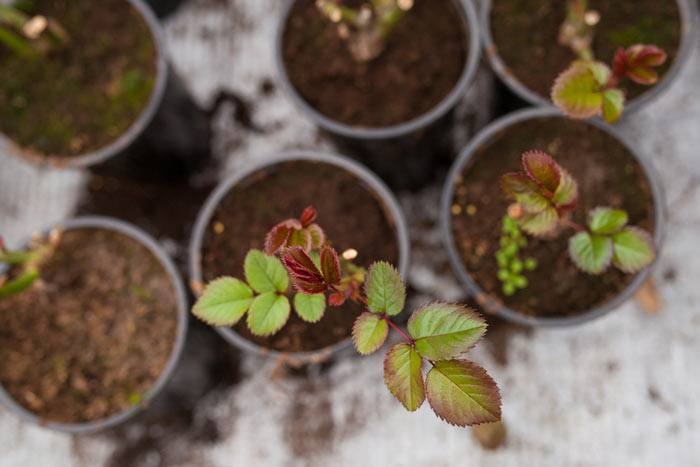 Rose seedlings in pots (viewed from above) for year 2021