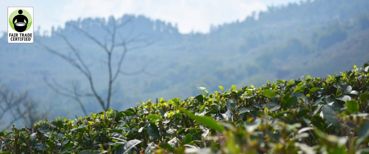 Teas and Fairtrade Certification
