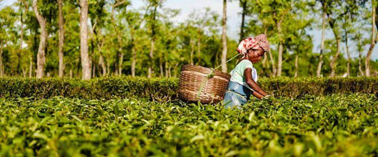 Seasons of tea – tea flushes