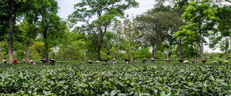 Assam: Wildlife, history and native tea