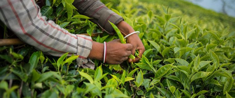 Top 10 tea producing regions of the world