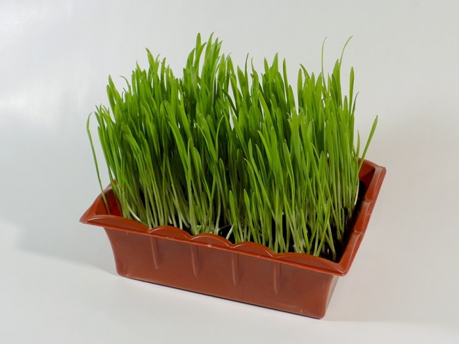 Jiffy Cat Grass Review - Day 10