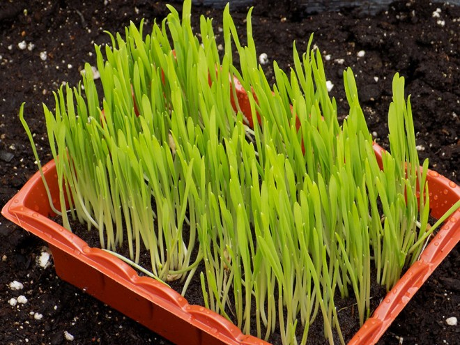 Jiffy Cat Grass Review - Day 8