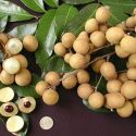 Expanding Longan Berry Fruit