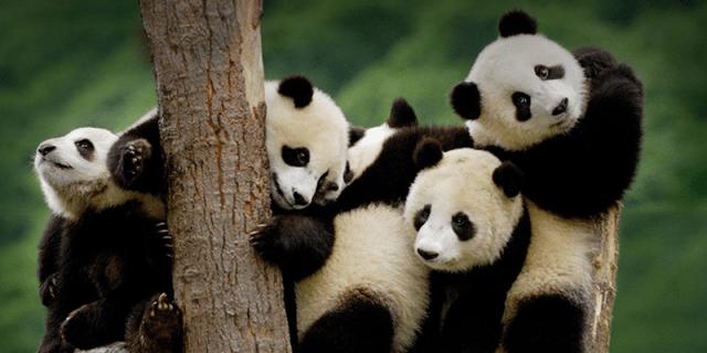 panda conservation image