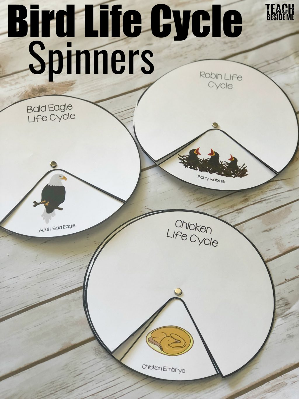 Bird Life Cycle Spinners Chicken Bald Eagle Amp Robin