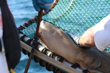 The hook is then quickly removed and the shark is back in the water within a couple minutes. Photo: Matt Ellis/NOAA Fisheries