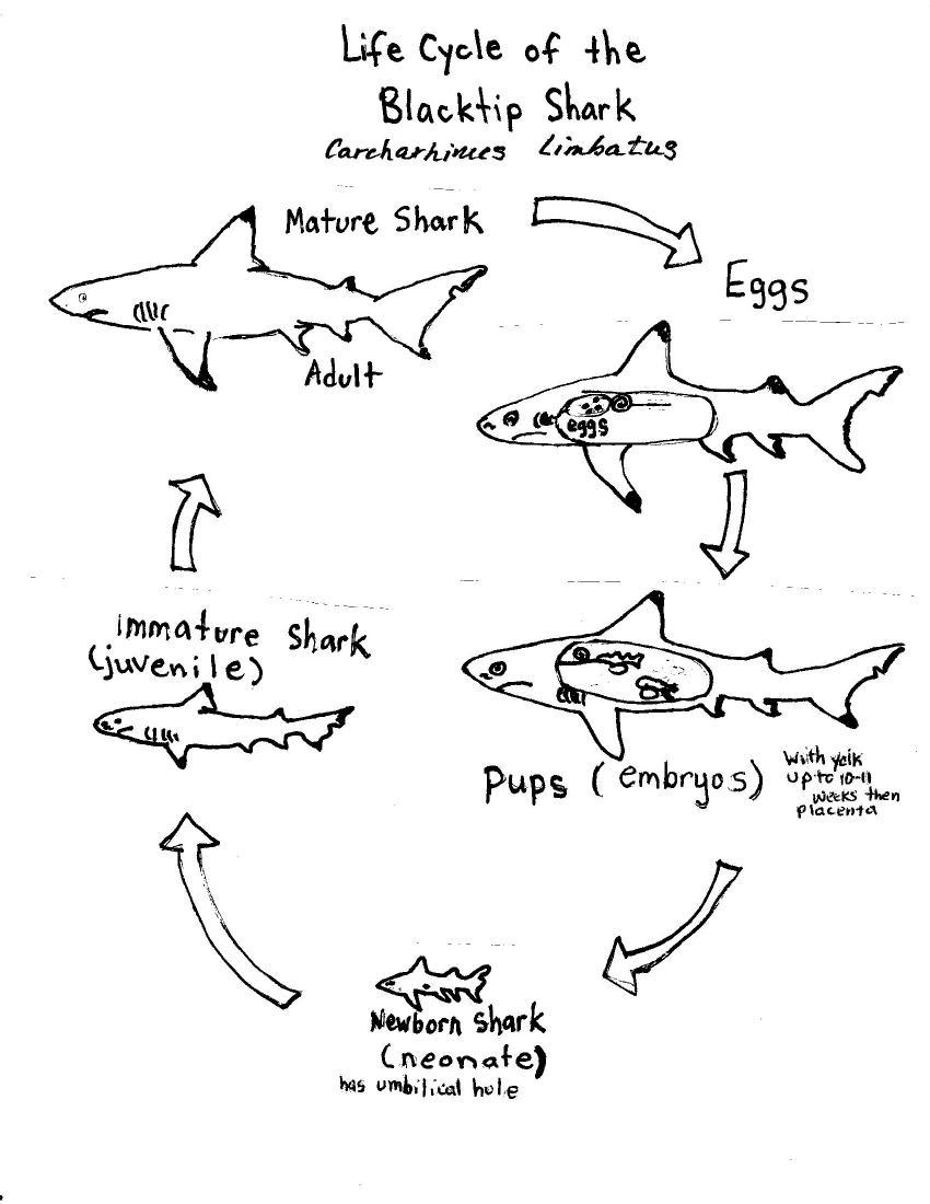 tiger shark life cycle diagram atx motherboard with labels blacktip noaa teacher at sea blog