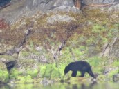 Black bear on the shore