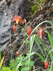 Quilegia canadensis (Canada columbine)