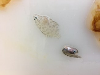 """We also caught a larval flatfish and an Age """"Zero"""" pollock."""