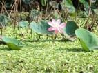 Pretty lotus blossom