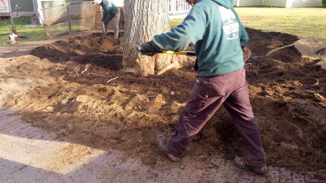 Amending the soil and fertilizing gives the tree a chance to recover from construction damage.