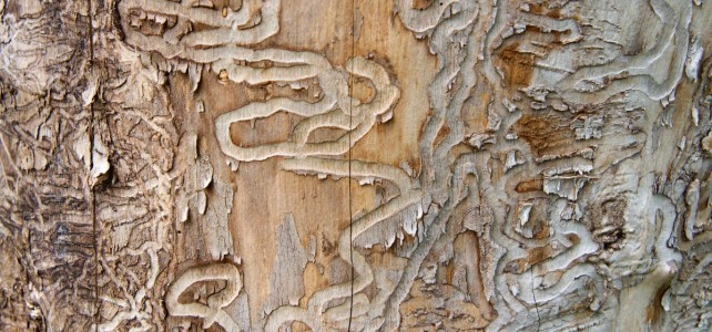 Emerald Ash Borer Strategies