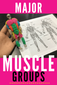 Teach major muscle groups to  high school Anatomy and Biology students with little skeletons and play doh!